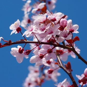 Celebrate the Spring Bloom at Cherry Blossom Pub